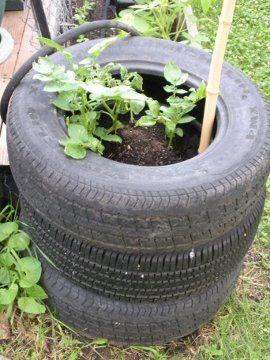Potato Barrel Planter Photo In July Potatoes Are Three 400 x 300