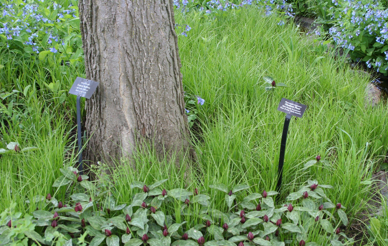 Underplanting Trees Natural Midwest Garden Chicago Botanic Garden Tree Mulch Prairie Planting