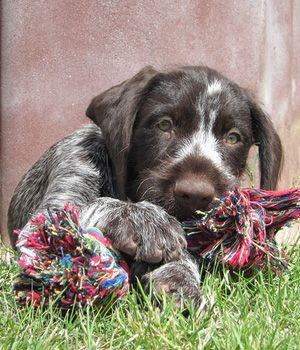 German Wirehaired Pointer Price Temperament Life Span With