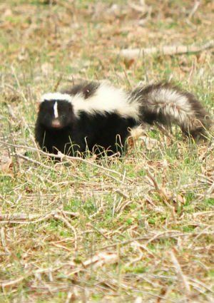 Stinky Situations: What to Do If You've Been Skunked ...