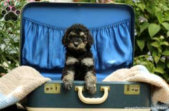 Lexi Standard Poodle Puppy For Sale In Pennsylvania Poodle