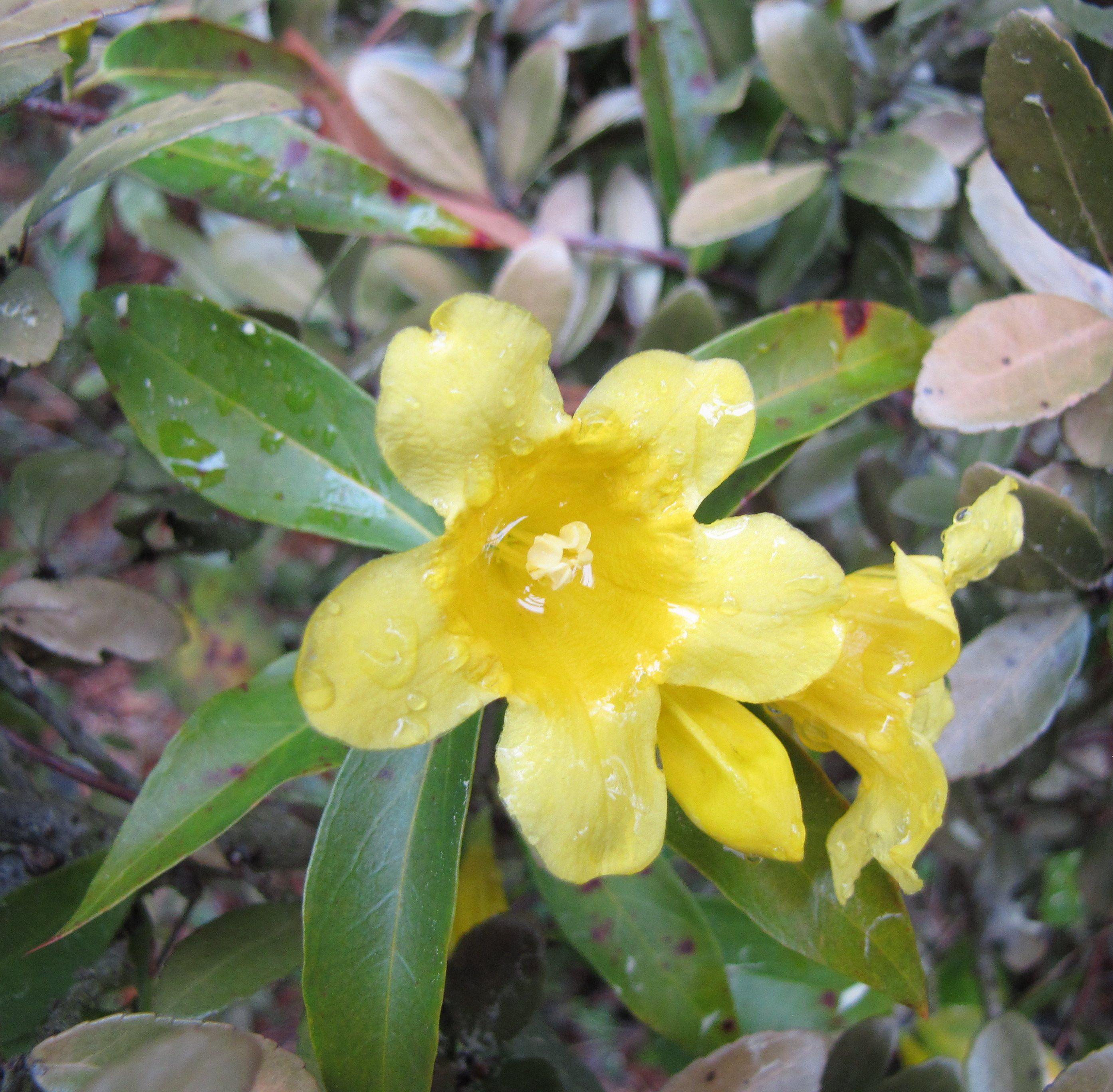 Carolina jessamine plant identifications pinterest plant carolina jessamine mightylinksfo