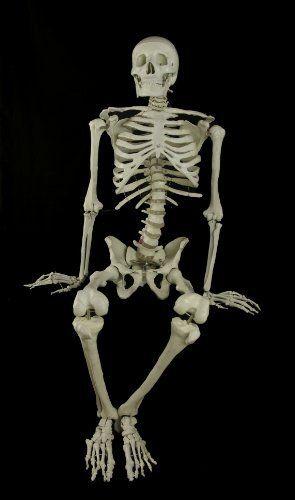Halloween Bucky Skeleton Anatomical Prop by Dead Head Props,