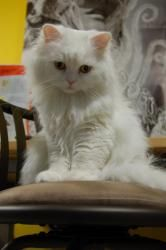 Adopt Alva On Persian Cat Cats Animals