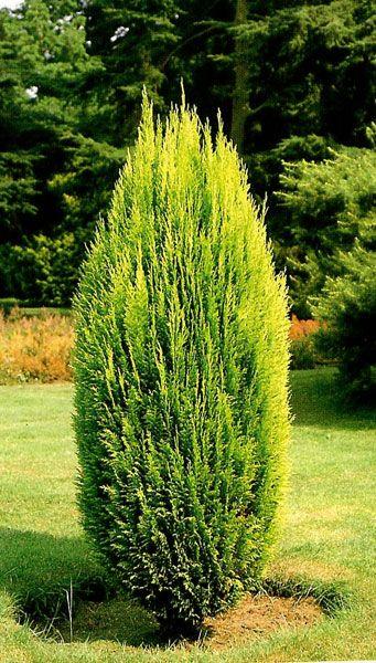 Chamaecyparis lawson. Erecta Aurea