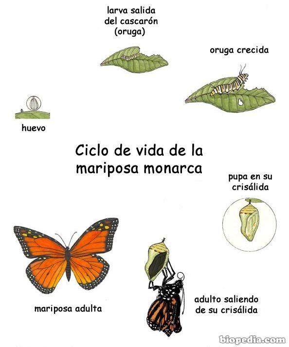 Image116 Ciclo De Vida De La Mariposa Ciclo Vital Ciclos De Vida