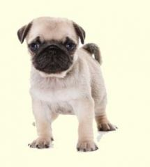 Puginese Puppies For Sale Puginese Breed Profile Greenfield