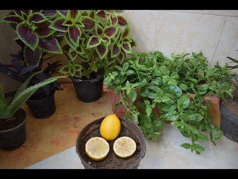 طريقة زراعة النعناع من حزمة نعناع من الخضري و كوب ماء فقط في اقل من 12 يوم Youtube Planting Herbs Plants Flowering Trees