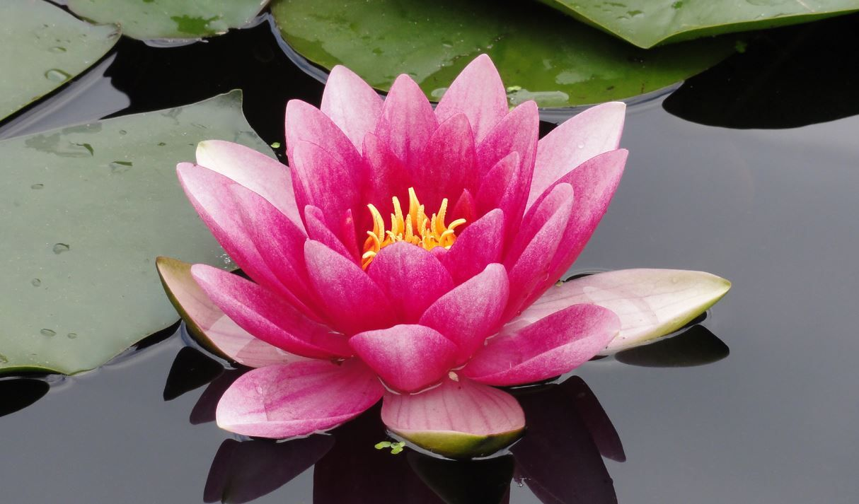 The story of the lotus flower signifies the struggle and changes in the story of the lotus flower signifies the struggle and changes in life the same way the lotus flower grows from something ugly but uses the light to mightylinksfo