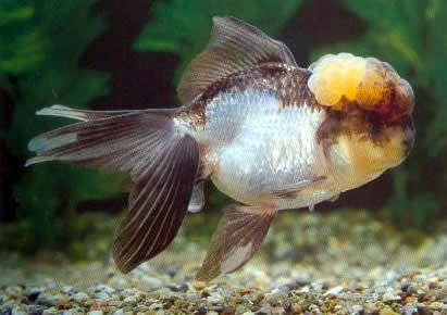 Blue And White Oranda Fish Pet Goldfish Persian Cat