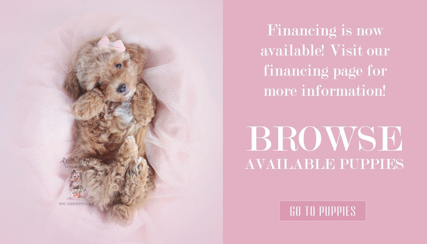 teacup-puppy-boutique-financing-toy-poodle-puppies #cuteteacuppuppies teacup-puppy-boutique-financing-toy-poodle-puppies #cuteteacuppuppies teacup-puppy-boutique-financing-toy-poodle-puppies #cuteteacuppuppies teacup-puppy-boutique-financing-toy-poodle-puppies #cuteteacuppuppies