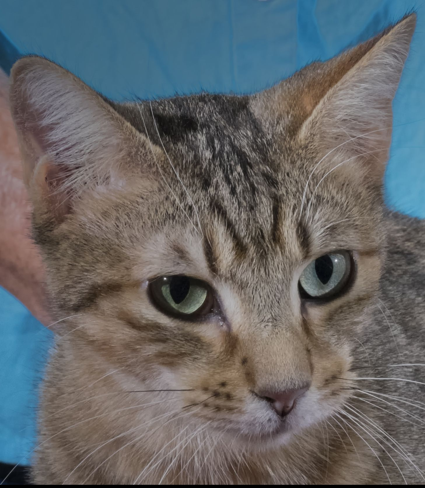 Majic Is A Male Yellow Abyssinian And Tabby Mix Kitten With Green Eyes He Is 10 Months Old Good With Other Cats And Ve Animal Welfare League Pets Abyssinian