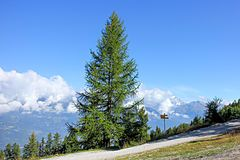 L'A de Bran, (1798 m) Val d'Anniviers. Europese larix (Larix decidua) 01.JPG