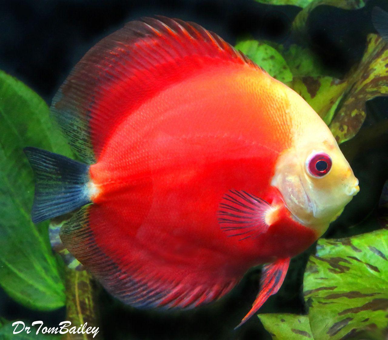 Premium Red Marlboro Discus 4 To 4 5 Long Aquarium Fish Goldfish For Sale Tropical Fish