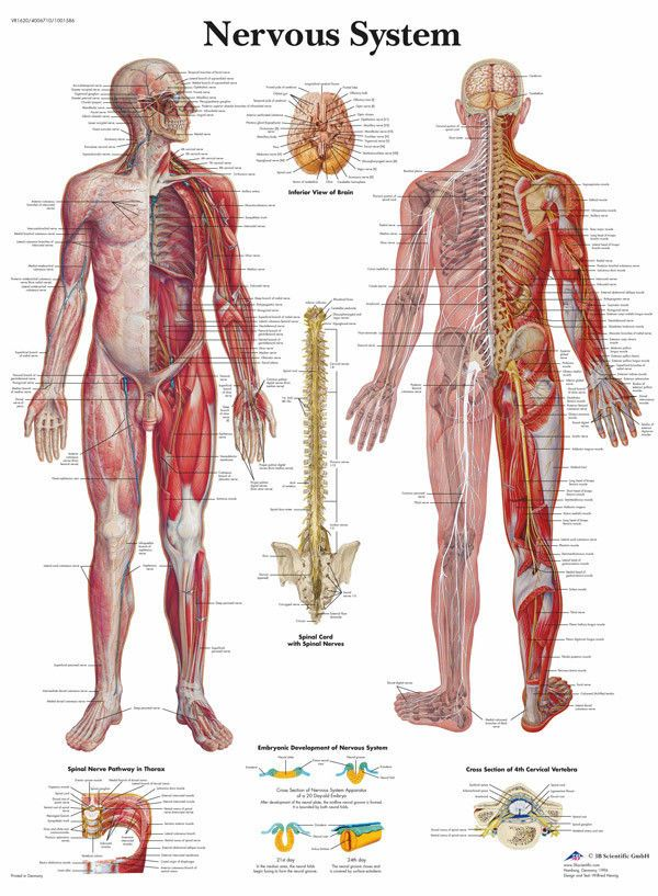 The Human Nervous System Anatomy And Physiology Art Poster Print ...