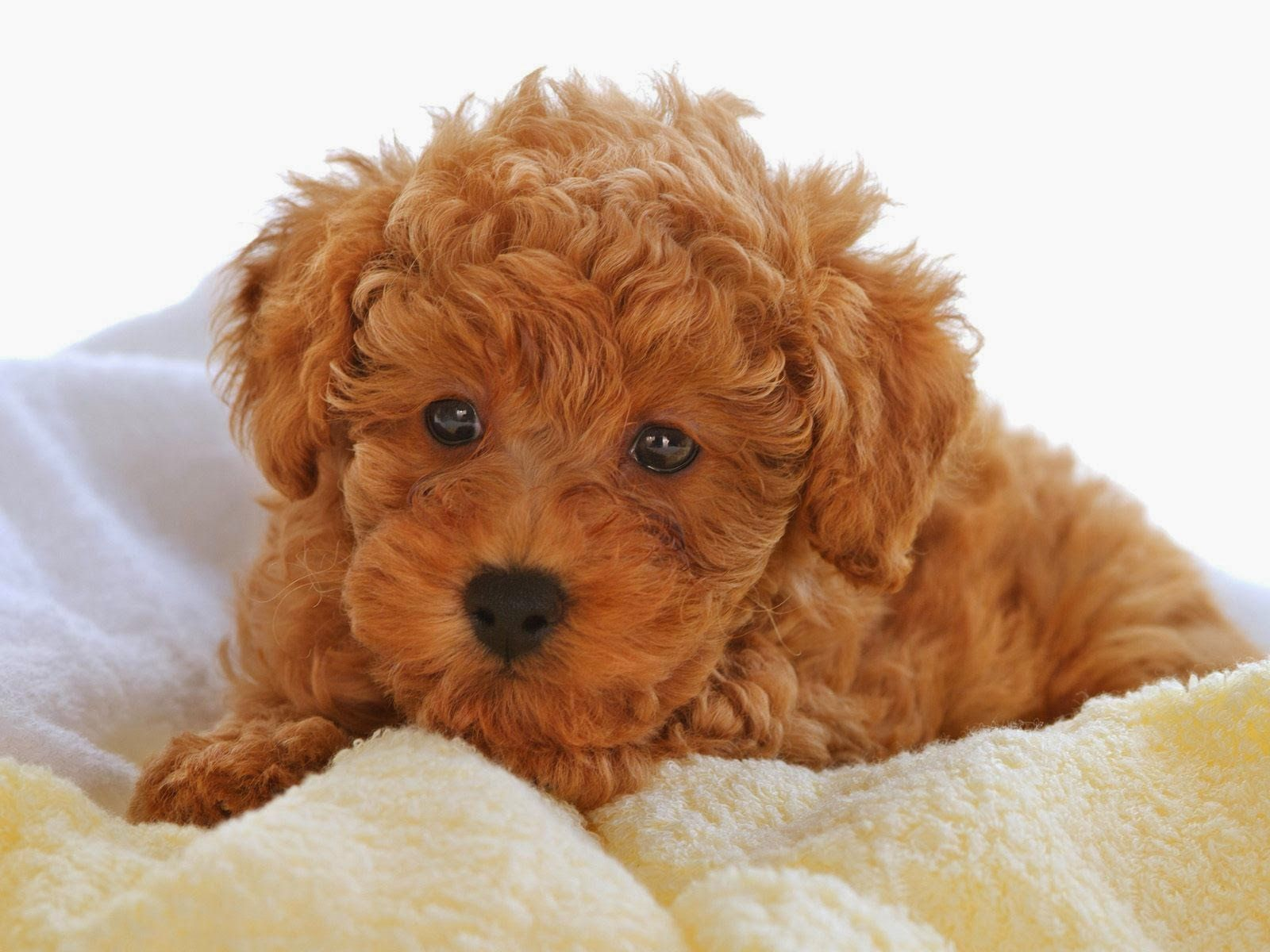 Images For Gt Chocolate Brown Teacup Poodle Cute Dogs Images