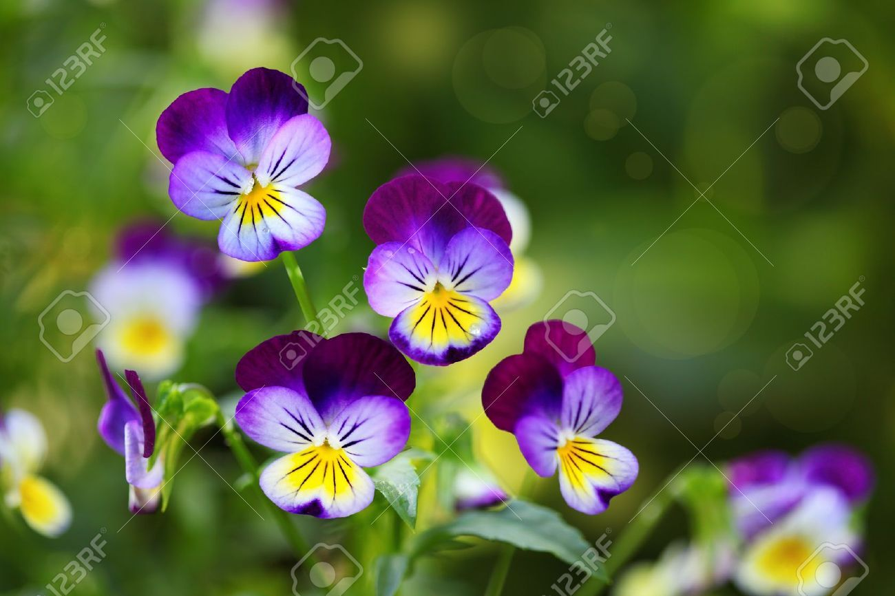 Tricolor Pansy Flower Plant Natural Background Summer Time Pansies Flowers Pansies Planting Flowers