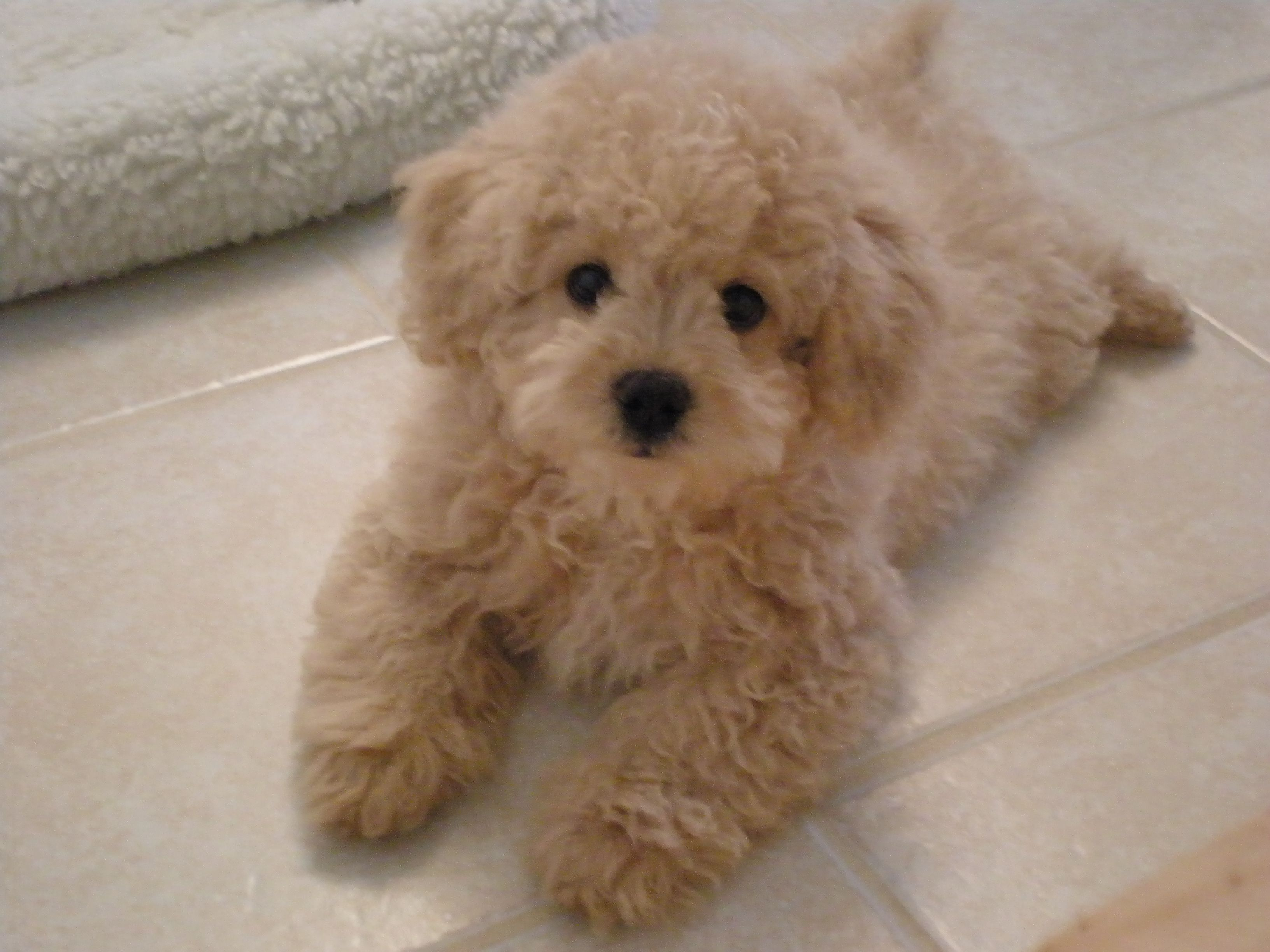 Lhasa Poo Lhasa Apso Poodle Mix Info Temperament Puppies