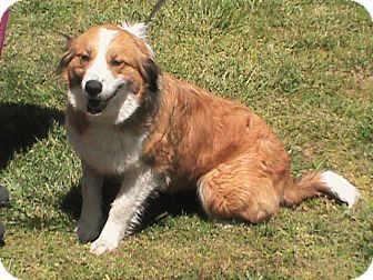 Golden Retriever Australian Shepherd Mix Dog For Adoption In