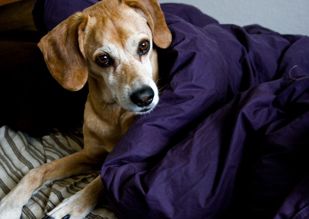 dog cold remedies