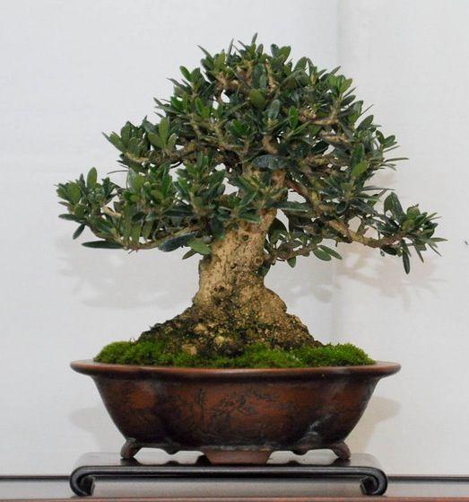 Bons i de olivo olea europaea bonsai olivo pinterest - Olivo en maceta ...
