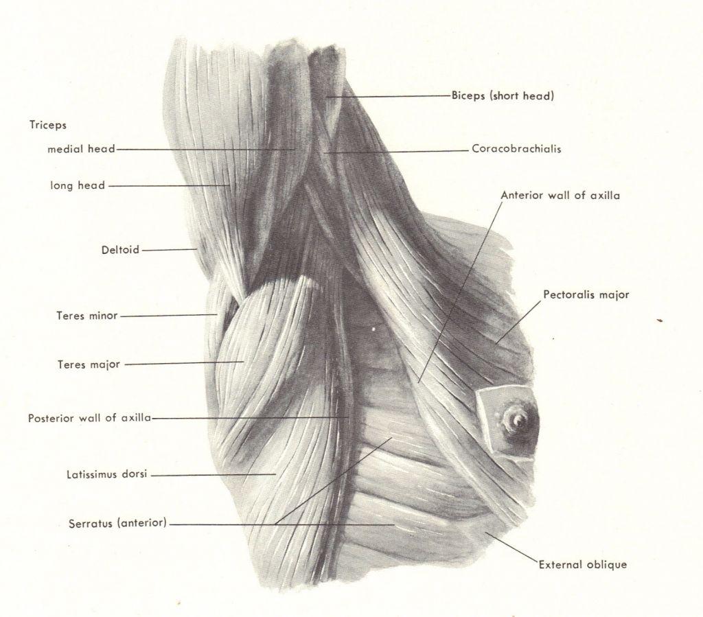 Image result for armpit anatomy | Anatomy | Pinterest | Anatomy