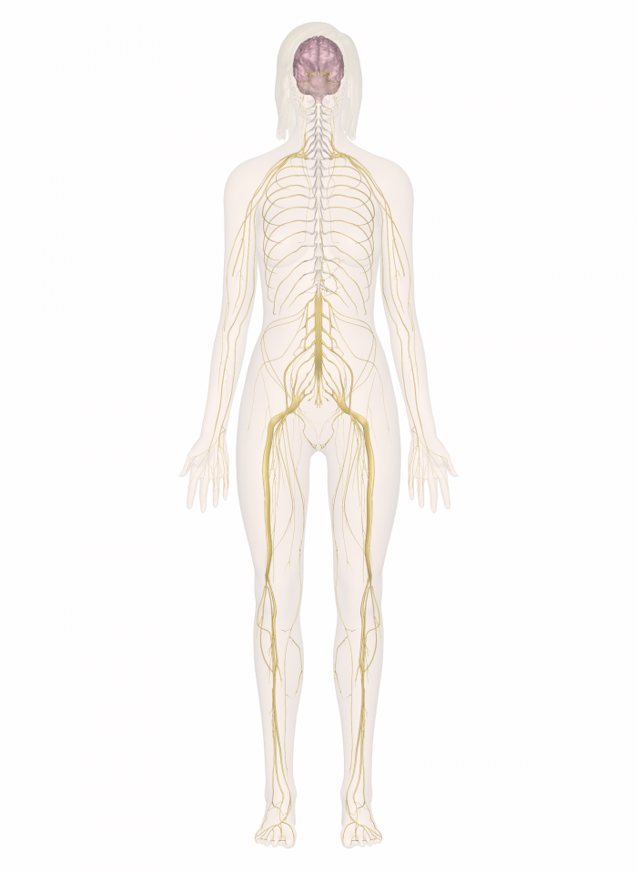 The inner body: nervous system. I like this because it goes into ...