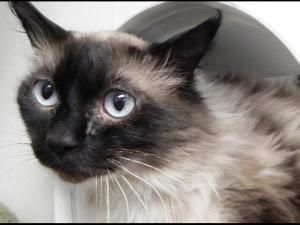 Doggie is an adoptable Ragdoll Cat in Virginia Beach, VA  Doggie is