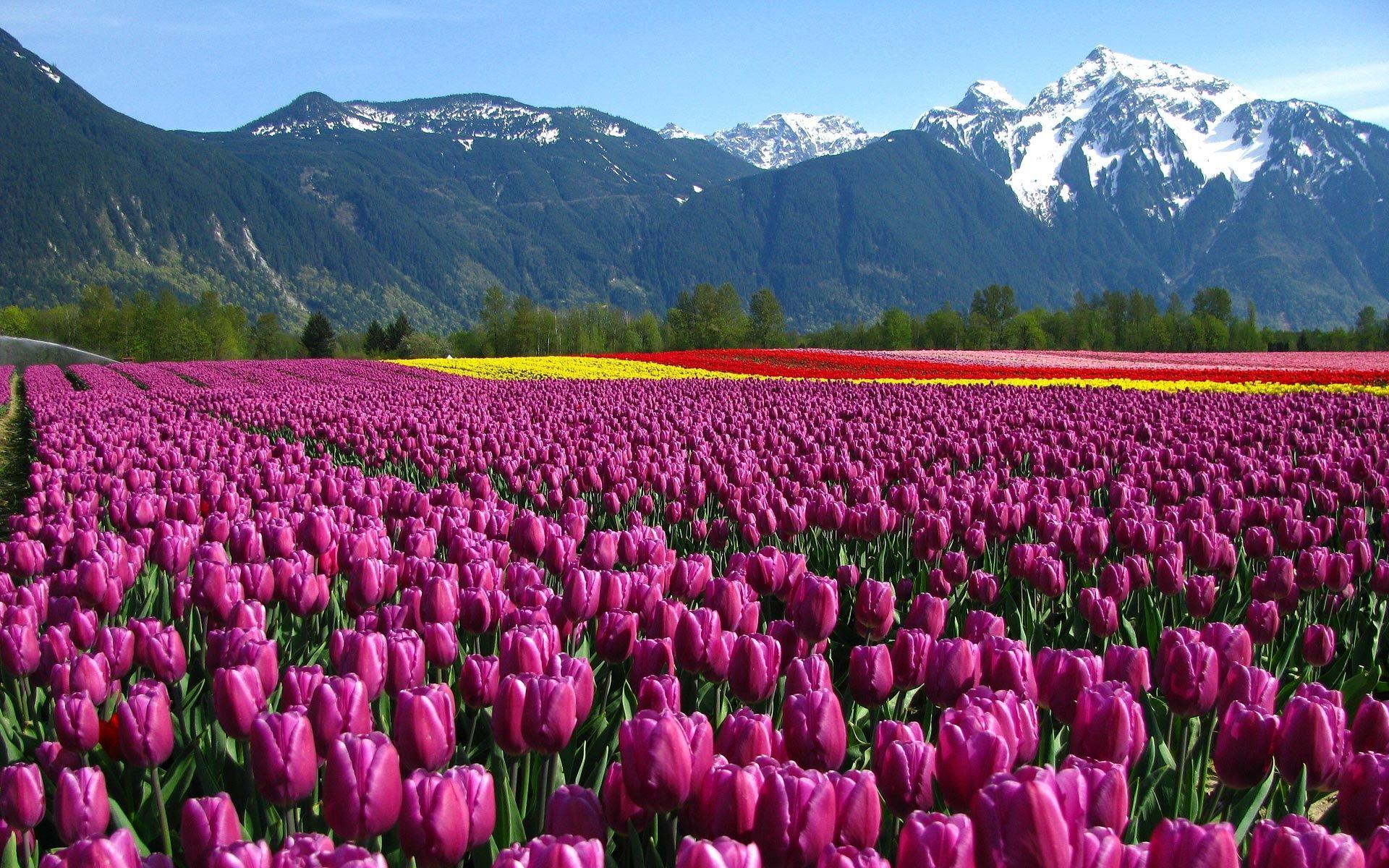 Download Flower Fields Wallpaper Tulips Garden Tulip Fields Tulips Flowers