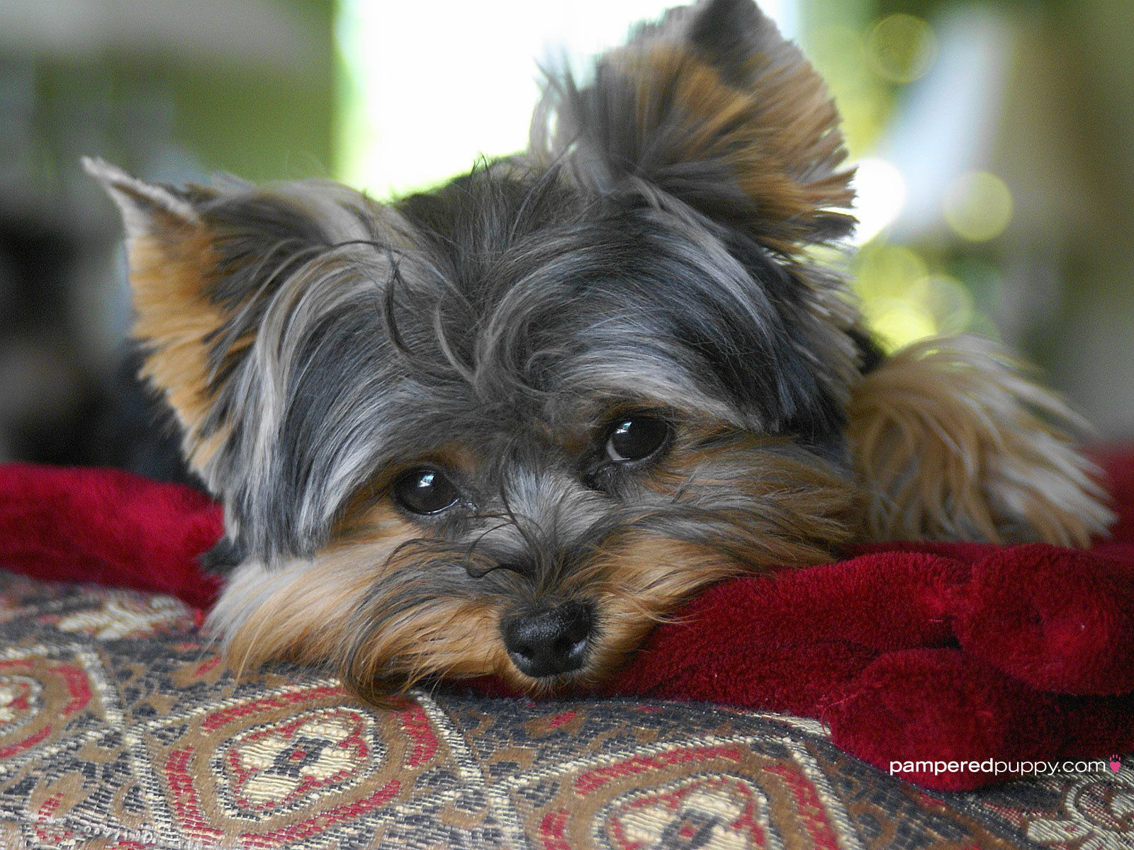 Yorkshire Terriers Wallpaper The Beautiful Yorkie Yorkshire Terrier Dog Yorkie Yorkshire Terrier Yorkie Puppy