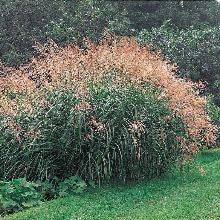 Ornamental Grass Miscanthus Sinensis Silver Feather Ziergras Gartengestaltung Gras
