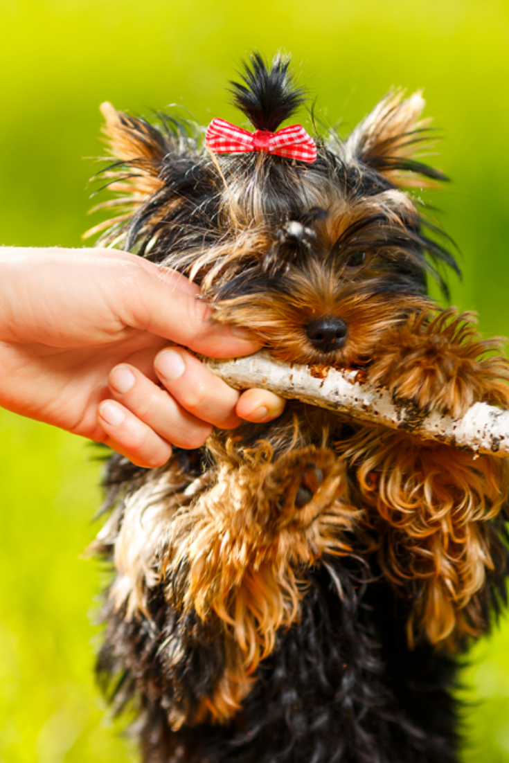Man Pulling Stick From Dog Small Yorkshire Terrier Summer Park Yorkshireterrier Yorkshire Terrier Terrier Terrier Breeds