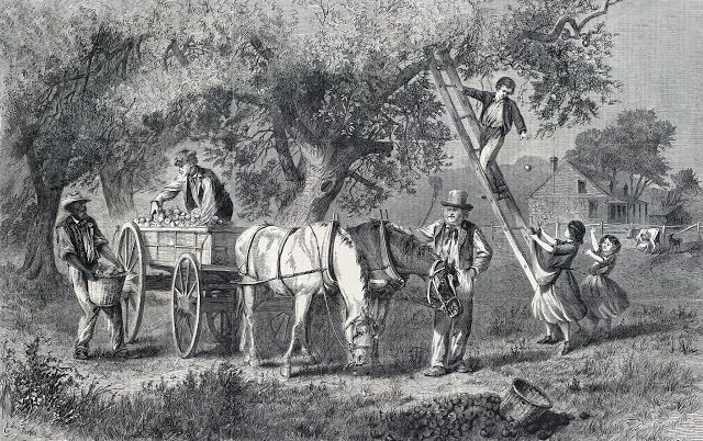 Gathering Apples Drawn By Mr E Forbes Harper S Weekly Magazine