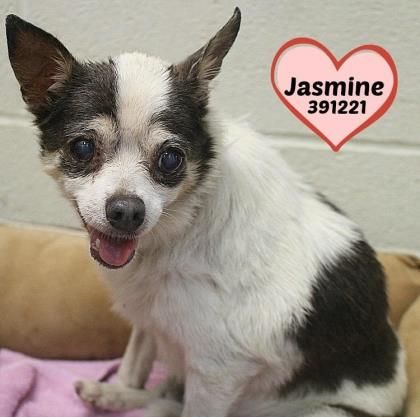Petango Com Meet Jasmine 10y 7m Chihuahua Short Coat Mix