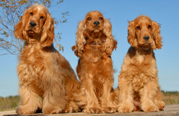 The Cocker Spaniel Is The Most Popular Of The Spaniel Breeds And