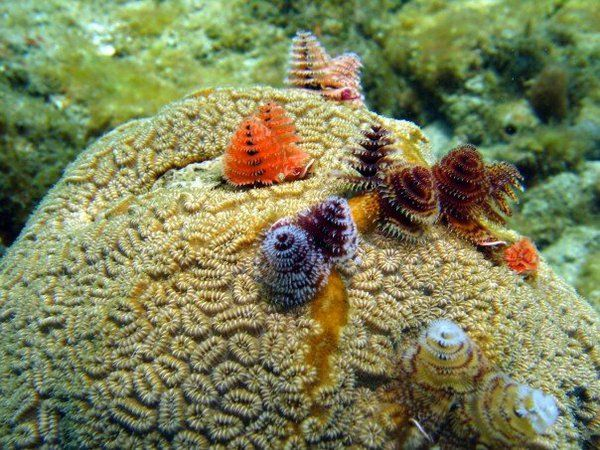 Christmas Tree Worms On The Brain Coral Phylum Cnidaria Brain Coral Ocean Animals Cnidaria
