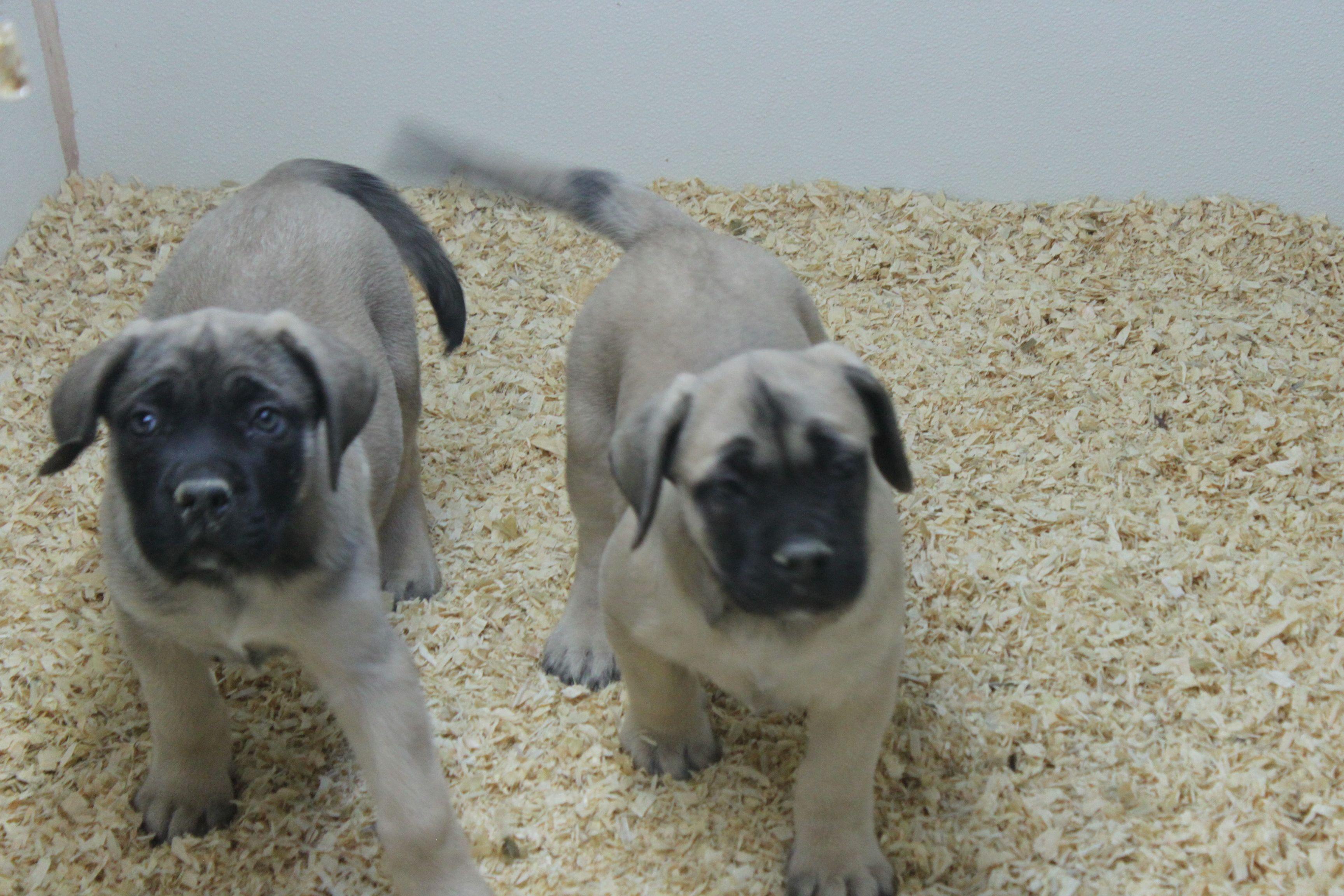 English mastiff puppies these are 2 english mastiff