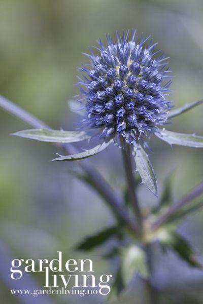 Eryngium planum har metallikk-blå blomster som vokser på sølvblå stengler rett over bladrosetten, ofte så rikt at bladrosetten forsvinner under blomsterstanden. Der den trives vil deg gjerne selvså seg litt og lage flere planter. Den er veldig fin sammen m