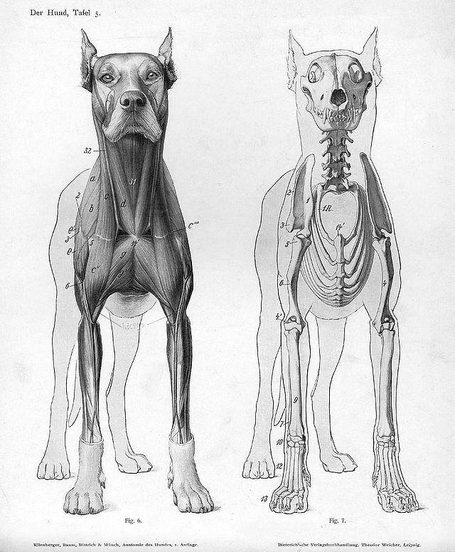 Dog Anatomy Anterior View Zoology Wikipedia The Free