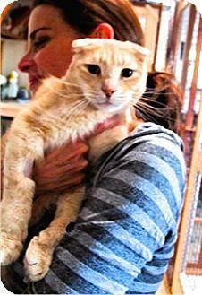 Davis Ca Scottish Fold Meet Little Lion Leo A Cat For Adoption Scottish Fold Cat Adoption Pets