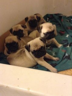 Litter Of 5 Pug Puppies For Sale In Denton Nc Adn 25916 On