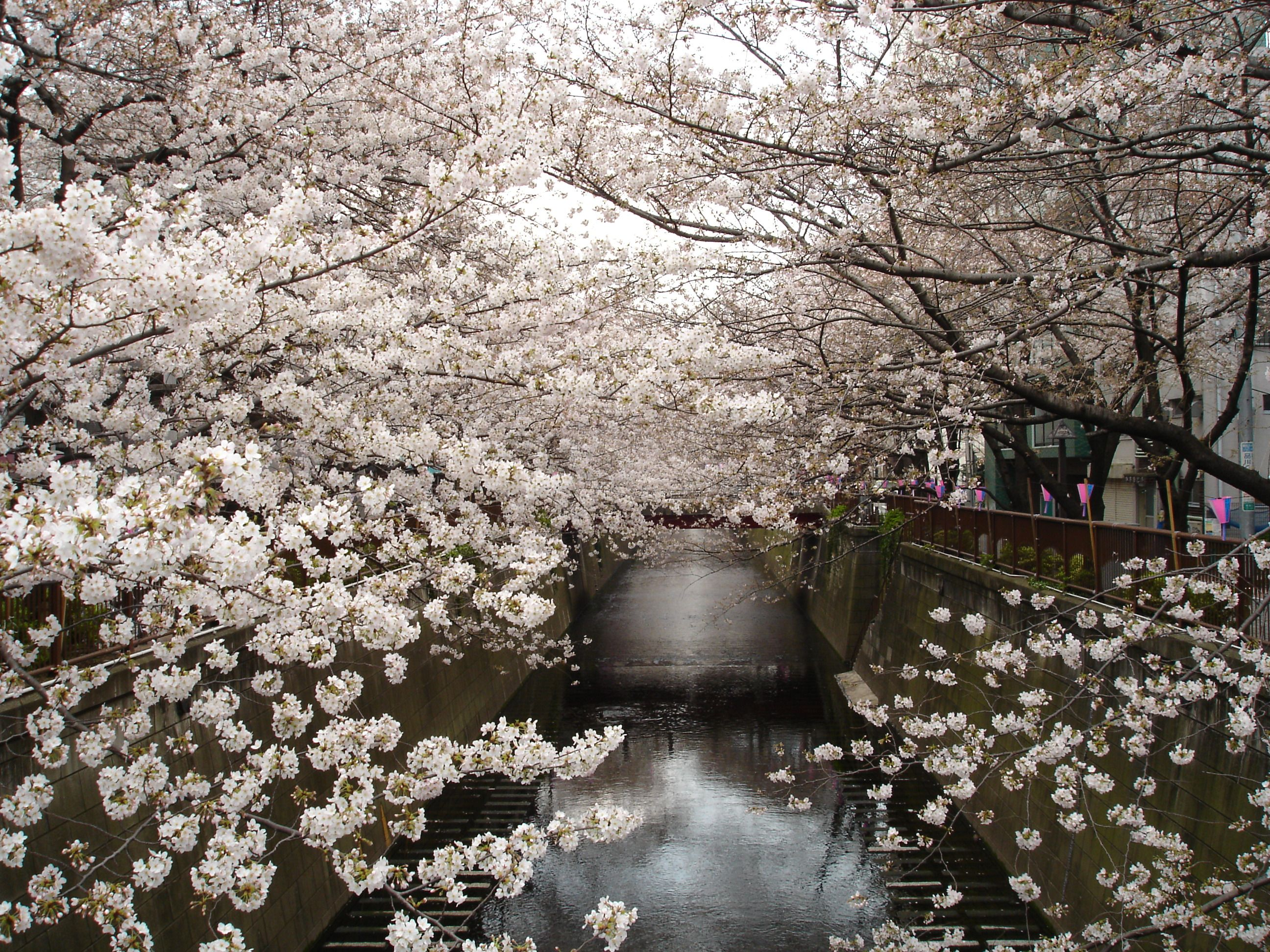 Japan Cherry Blossom Trees Flowers Wallpaper 668973 Wallbase Cc Cherry Blossom Japan Cherry Blossom Tree Blossom Trees
