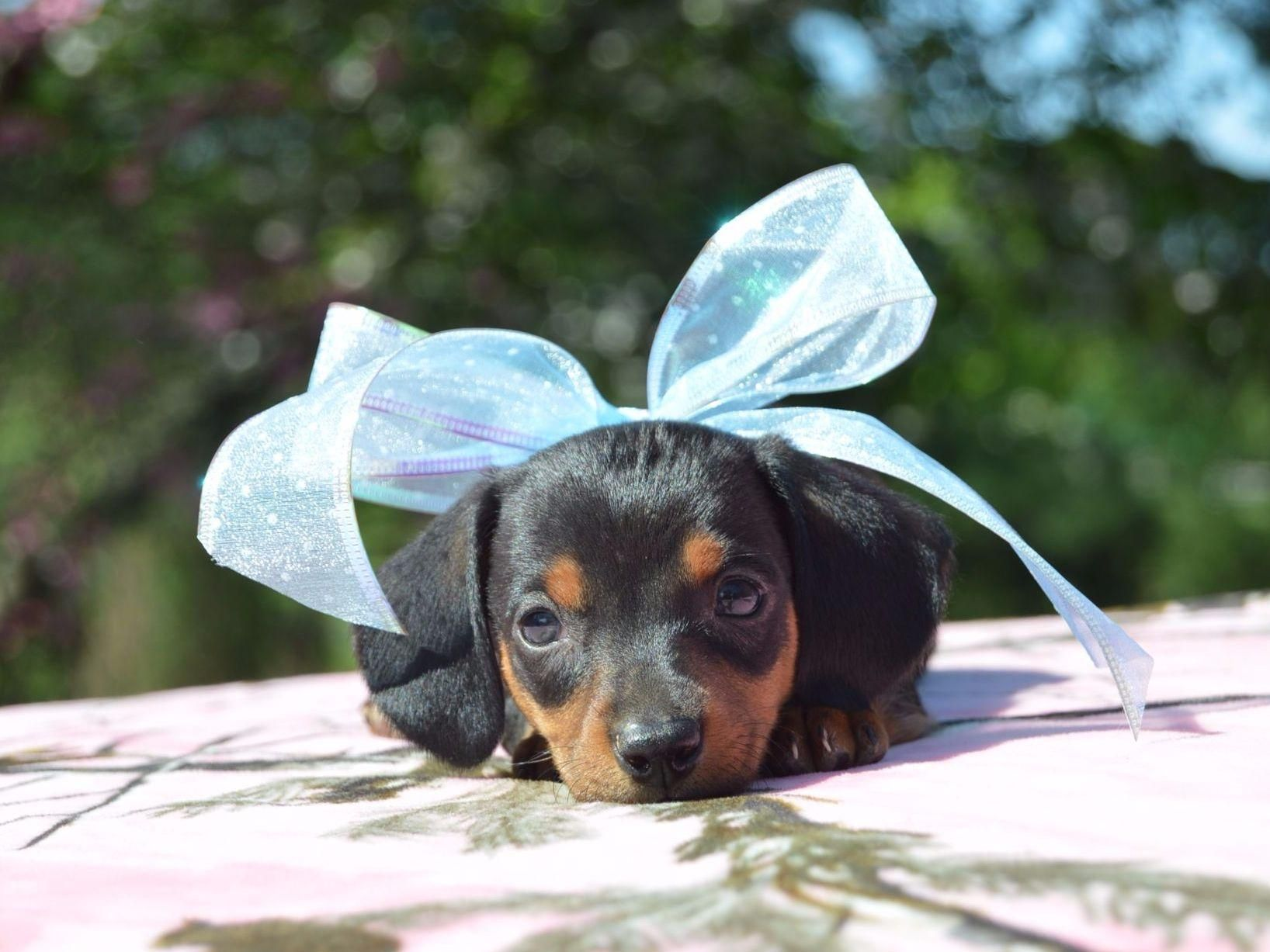 Ten Waters Miniature And Toy Dachshunds Has Puppies For Sale On