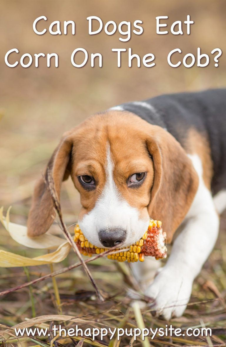 Can dogs eat corn a guide to corn cobs and corn kernels