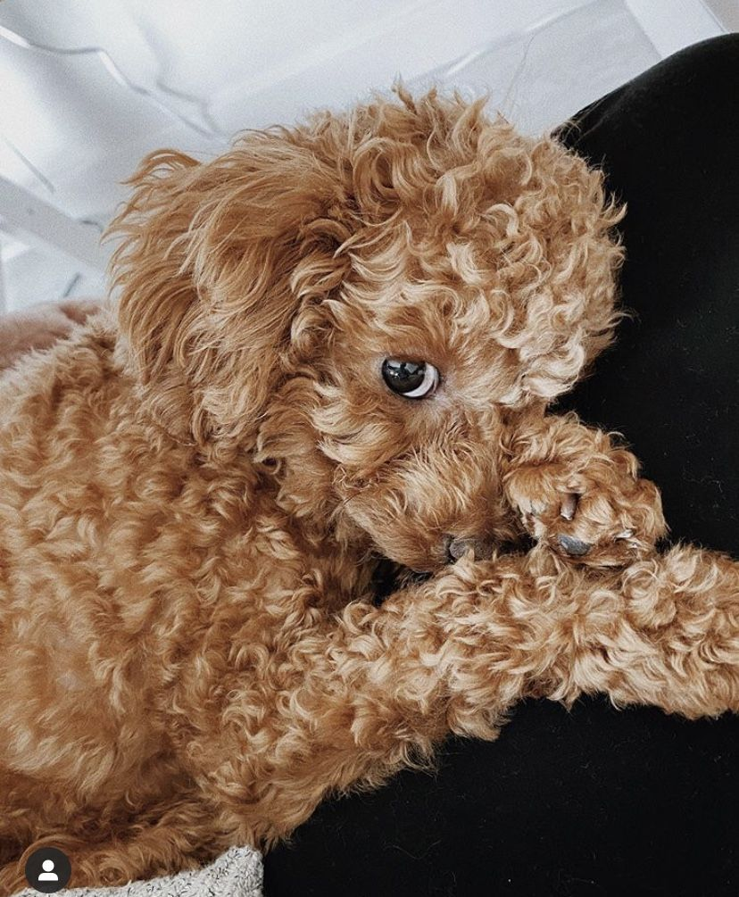 #dogs #poodle #poodlepuppy #cute