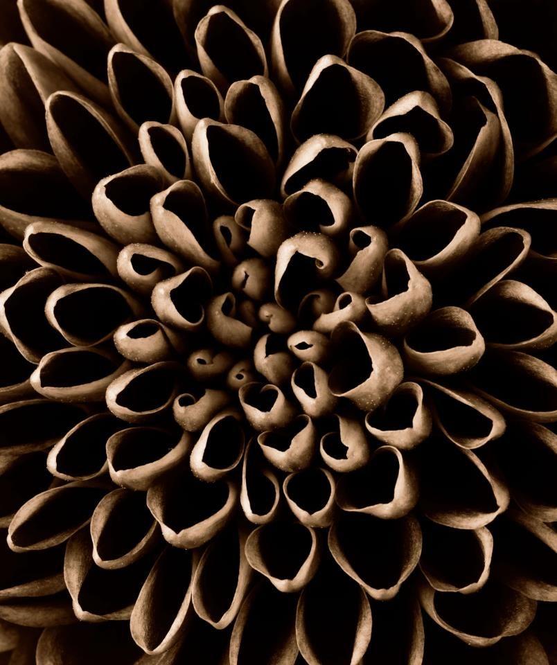 Chrysanthemum flower close up - delicate organic textures; art in nature