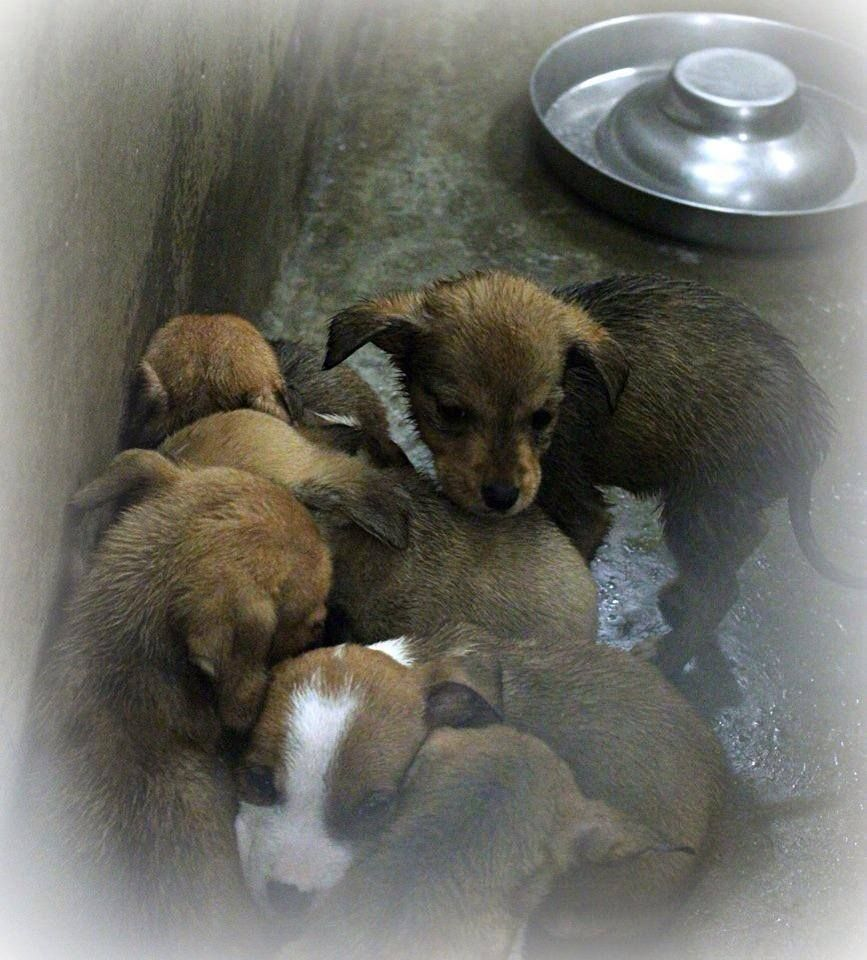 ~ODESSA URGENT~~These babies Need out!!!!  Shepherd mix puppies less than 4 months old  Kennel A15  Available NOW ****$35 to adopt   Located at Odessa, Texas Animal Control. Must have a valid Drivers License and utility bill with matching address to adopt. They accept Credit Cards, cash or checks. We ARE NOT the pound. We are volunteers who network these animals to try and find them homes. Please send us a PM if we can answer any questions for you.