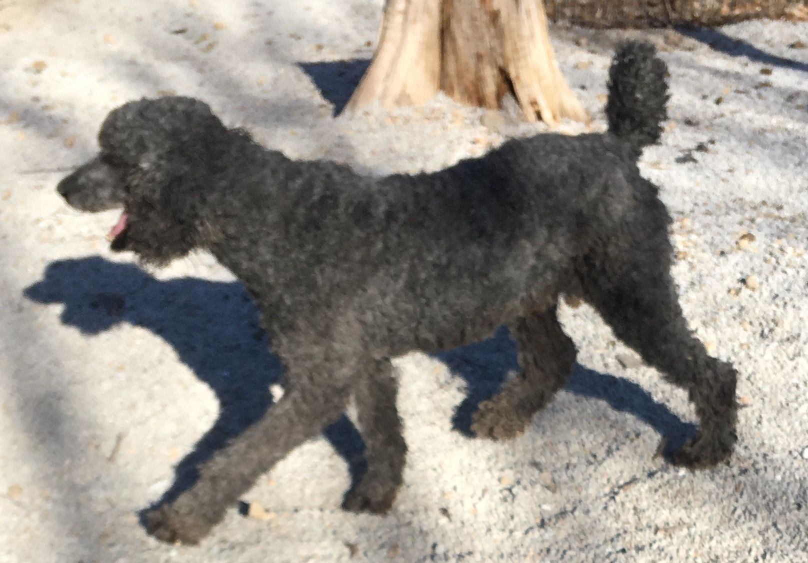 Poodle (Standard) dog for Adoption in Harrison, AR  ADN