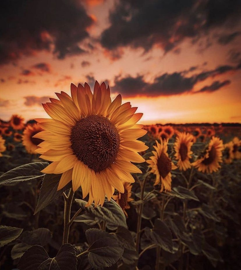 Pin by Lady Irish on Favourite Flowers in 2020   Sunflower ...