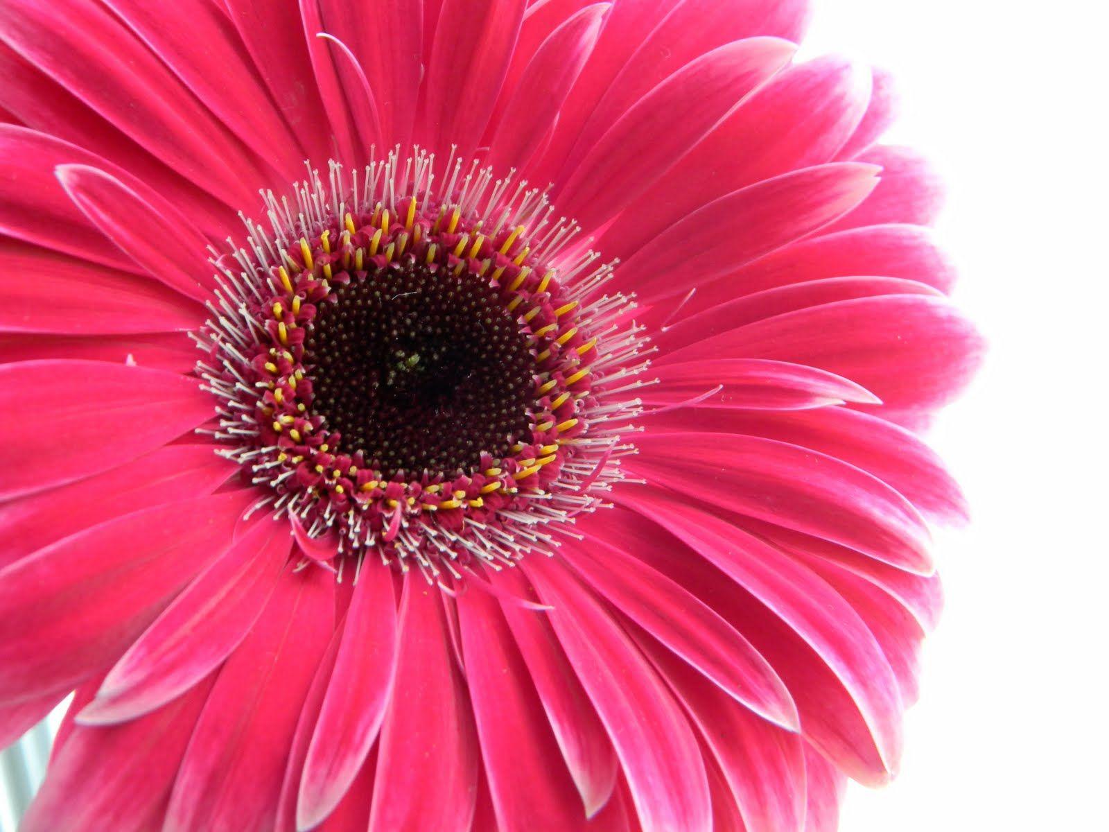 Fp 9 Poppy Red Flower Flower Power Pinterest Poppy Red And